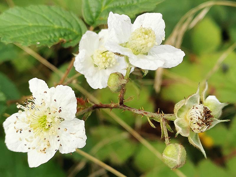 Brombeerenblüten