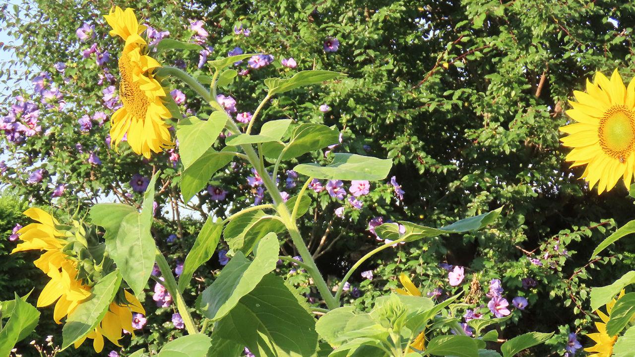 Header_Sonnenblumen